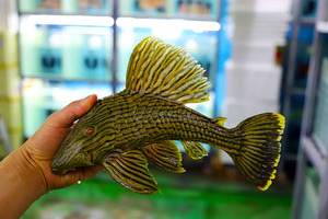L-27 Araguaia Golden Royal Pleco25~29cm전후